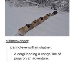 corgi, dogs, and pugs image