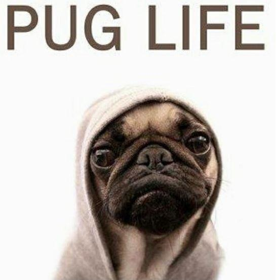 memes, pug, and article image