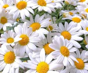 daisy and flowers image
