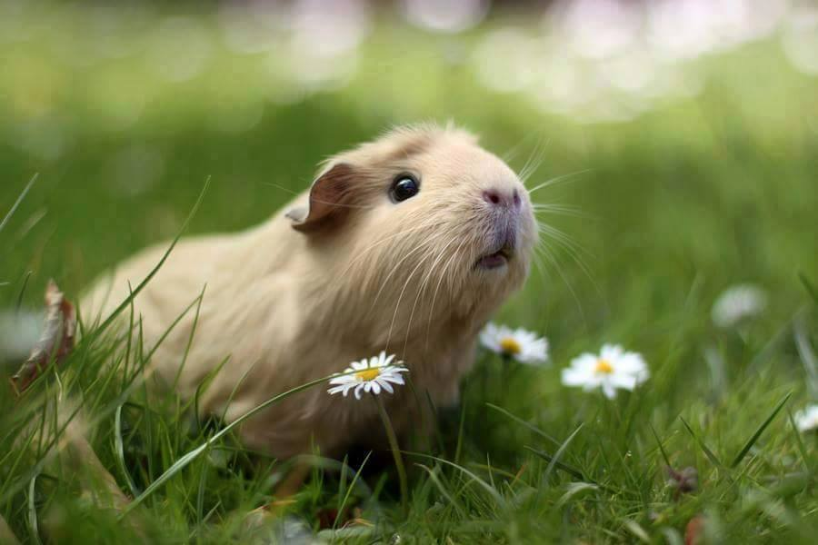 animals, article, and guinea pigs image