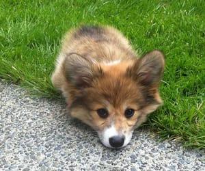 animal, corgi, and dog image