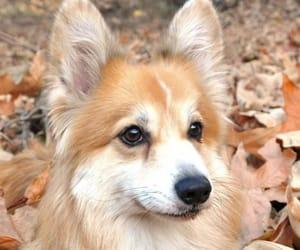 animal, autumn, and corgi image
