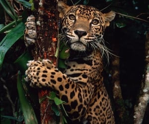 animal, theme, and jaguar image