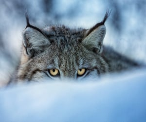animals, big cats, and cold image