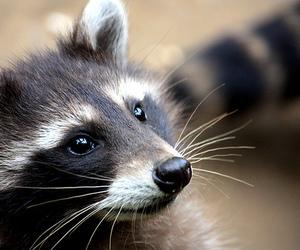 animal, raccoon, and wild image