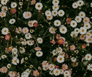 background, daisy, and flowers image