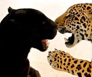 animals, big cats, and jaguar image