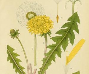 plants, taraxacum officinale, and scandinavia image