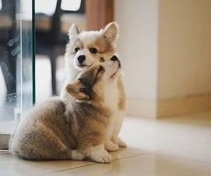 corgi, dog, and cute image