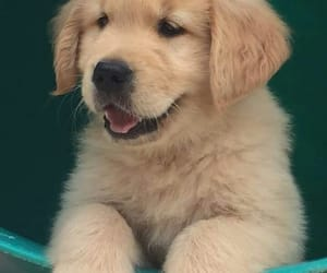 animals, dogs, and golden retriever image