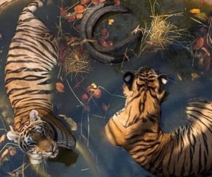 mulan, tigers, and zoologist image