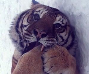 adorable, tiger, and animal image