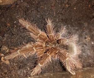goliath, tarantula, and blondi image