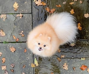 cute dog, cute things, and pomerian image