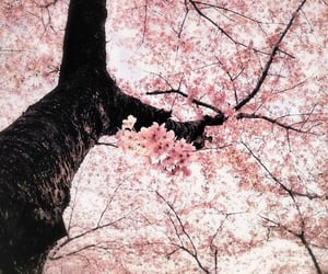 aesthetic, beautiful, and cherry blossom image