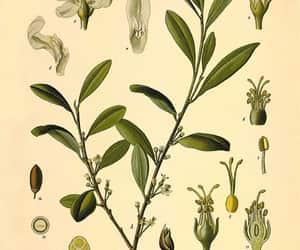 coca, cocaine, and botanical print image