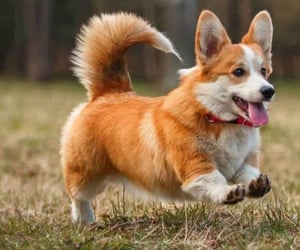 animals, corgi, and dog image
