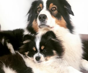 animals, aussie, and pets image
