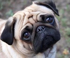 pug, dog, and cute image