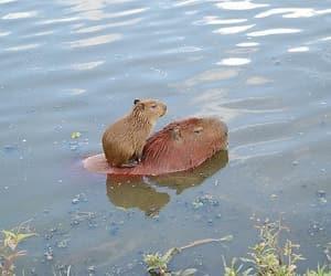swimming, capibara, and cute image