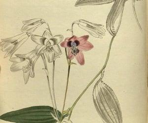 bhl:page=29151451 and alstroemeria oculata image