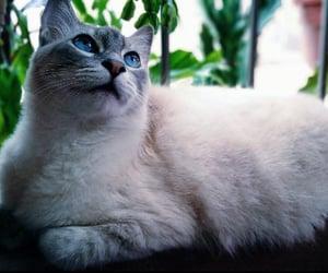 amor, big cat, and blue eyes image