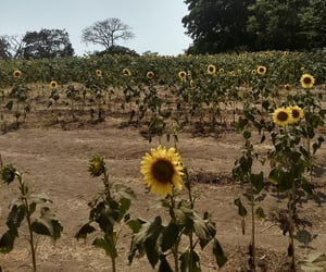 beuty, natural, and sunflower image