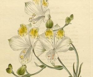 bhl:page=28876351 and alstroemeria bicolor image