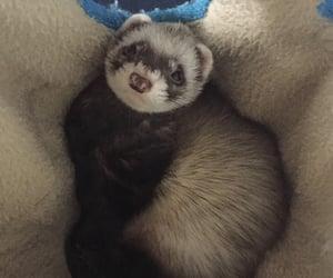 animal, ferret, and furet image