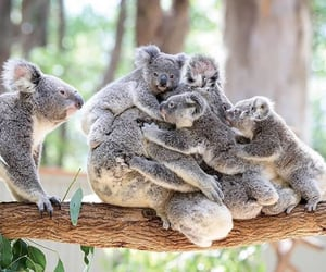 animals and Koala image