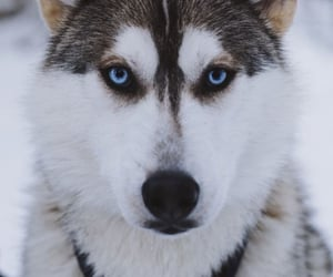 Animales, husky, and nieve image