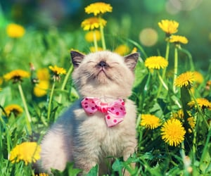 bow tie, kitten, and cat image