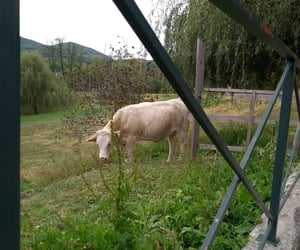 cow, grass, and green image