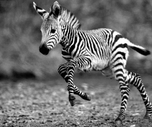 zebra, animal, and cute image