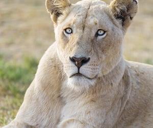 lion, beautiful, and beauty image