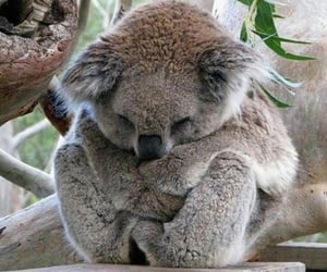 adorable, Koala, and cute image