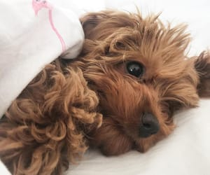 Credit : @monsterthecavoodle (instagram) Tucked up in bed pretending I'm a human ♀️ .