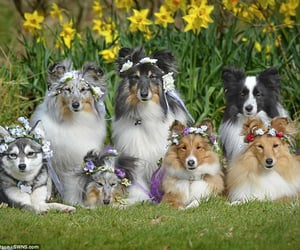 dogs, shelties, and baby animals image