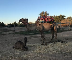 camel, morocco, and marrakech image