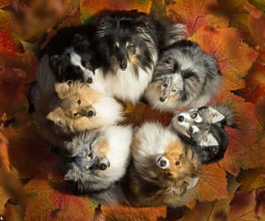 dogs, shelties, and autumn image