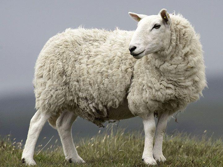 animal, german, and sheep image
