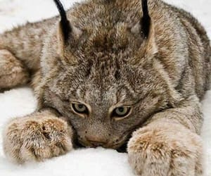 animals, cats, and lynx image
