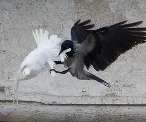 crow, dove, and bird image