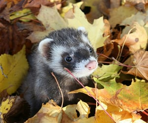autumn, ferret, and leaves image