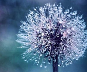 dandelion and nature image
