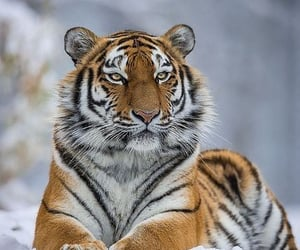 tiger, snow, and snowy image