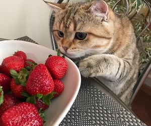 cat, animal, and strawberry image