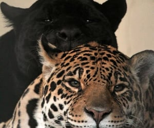 animals, cats, and tiger image