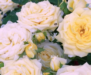 flowers, roses, and yellowish image
