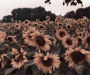 aesthetic, sunflower, and aesthetic sunflower image